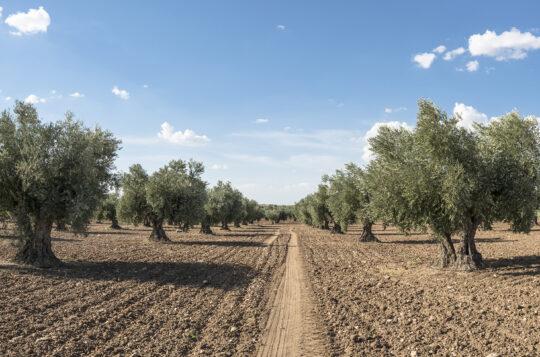 http://Olivenbäume%20pflanzen
